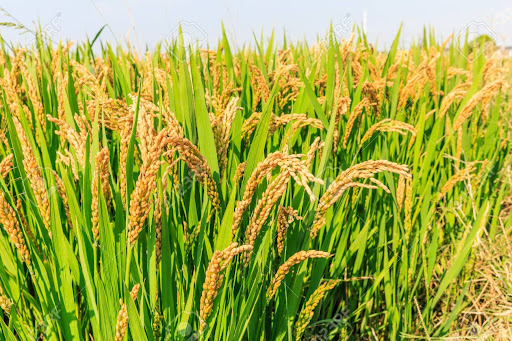 First Advance Estimates of production of major kharif crops released